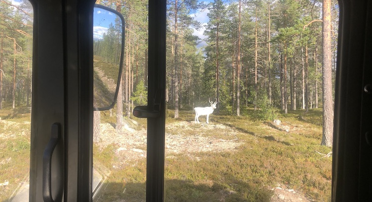 Reindeer next to the road