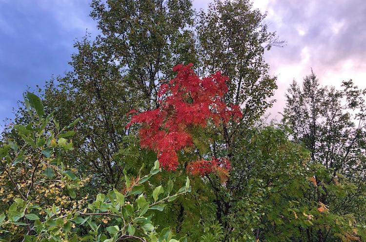 Red leaves near Torneträsk